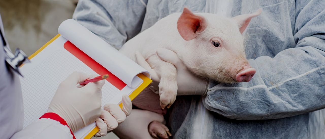 Pork meat has enhanced its quality thanks to investigations on animal feeding